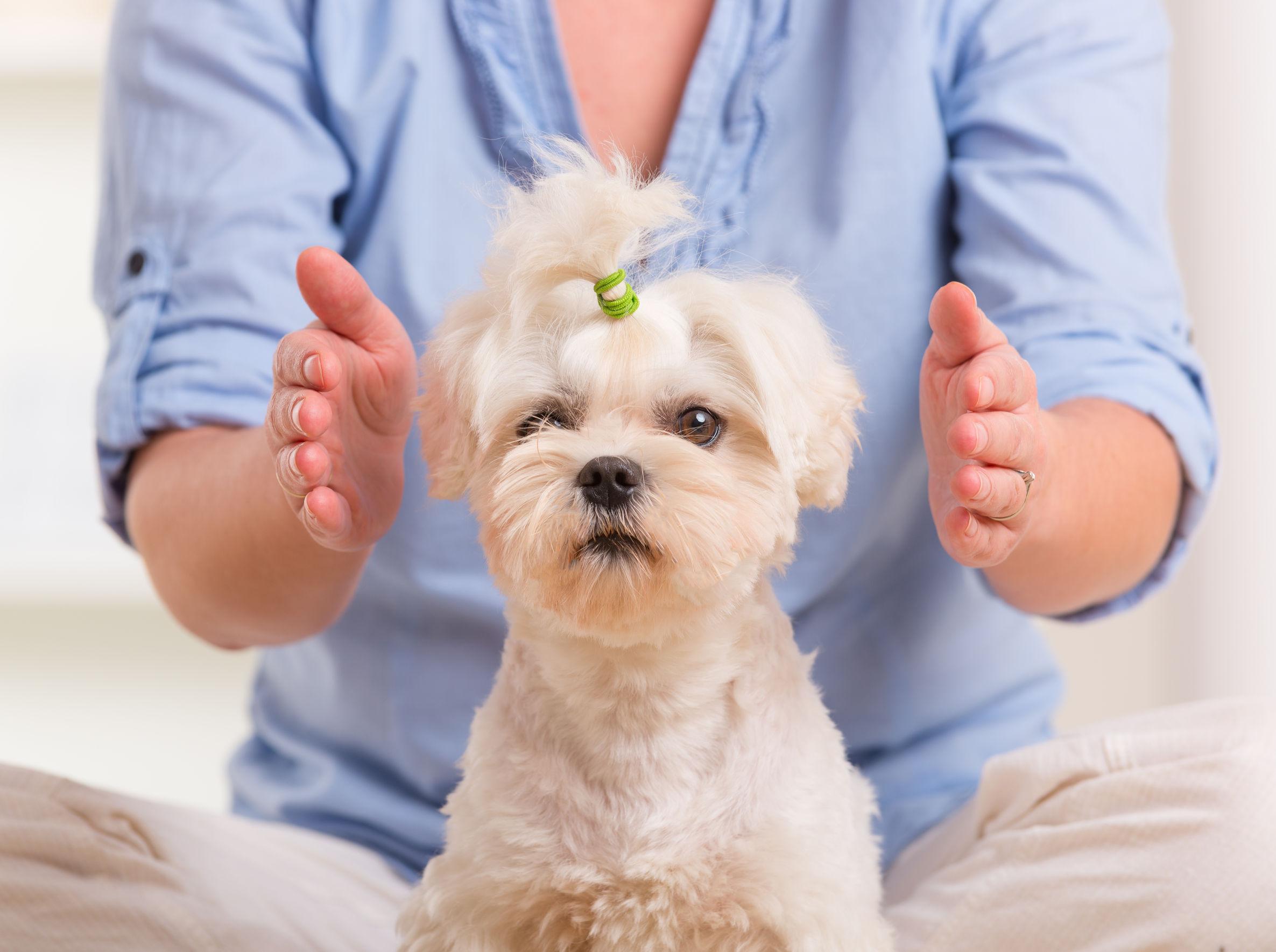 reiki sur chien