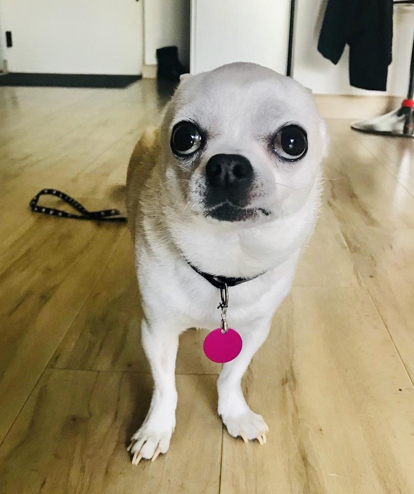 medaillon plaque pourpre pour chien